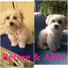 Bronte Harbour Dog Grooming before & after
